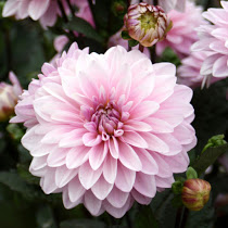 Dahlia Nain Rose Des Sables Lot De 3 Bulbes M